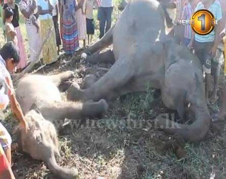 Elephants electrocuted in Hambantota