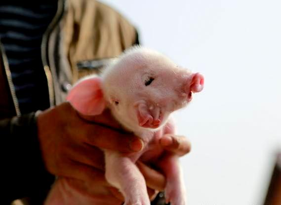 Two-headed pig born in China