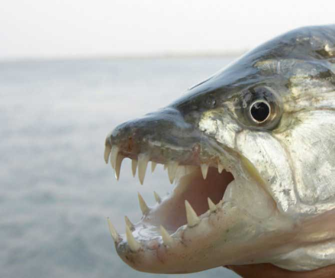 African tigerfish catch swallows in flight (Video)