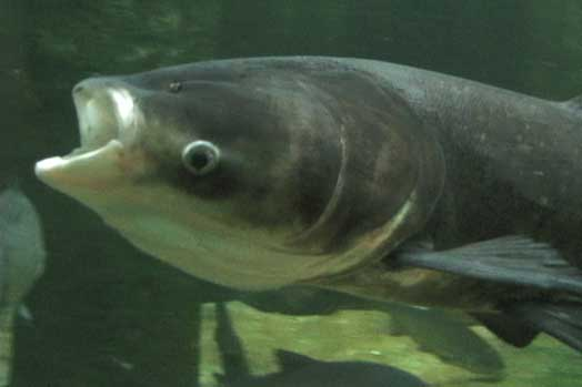 US army to battle with voracious monster fish