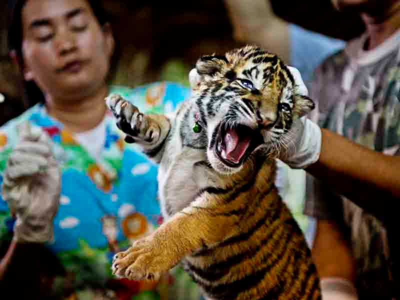 Tiger cubs and hundreds of animals in plastic boxes smuggled as delicacies