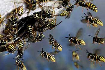 Wasp-attack kills individual in Hatton