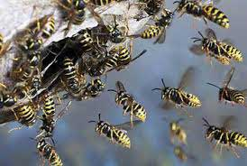 Dozens hospitalised as wasps fly into a rage