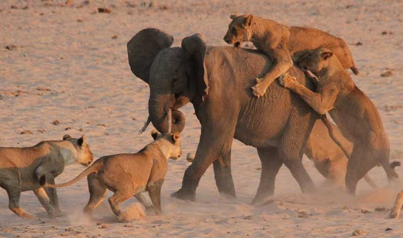Feisty elephant fends off attack by 14 lions (Watch Video)