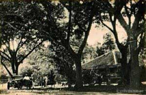A Picture that was captured in 1920 is proof of the existence of this tree over a century ago.