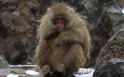 Japanese zoo kills 57 snow monkeys due to 'alien genes'