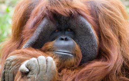 Chantek, the US orangutan who used sign language, dies aged 39