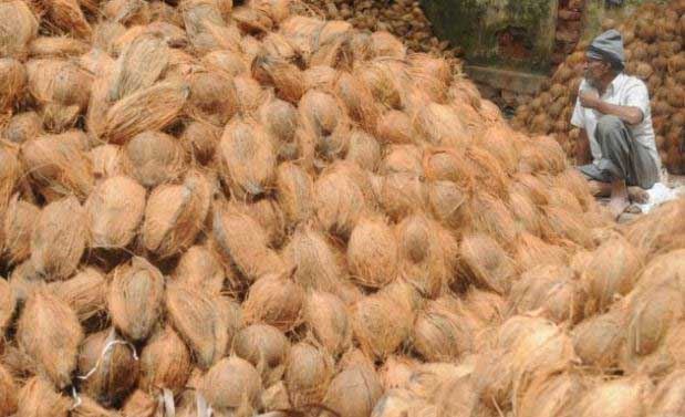 Hopes of unscrupulous traders dashed as Coconut Cultivation Board steps in