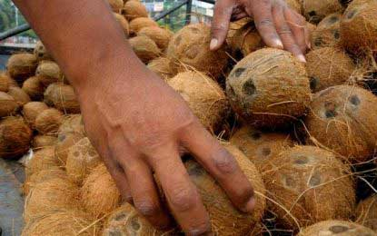 One million coconuts to break into the market today