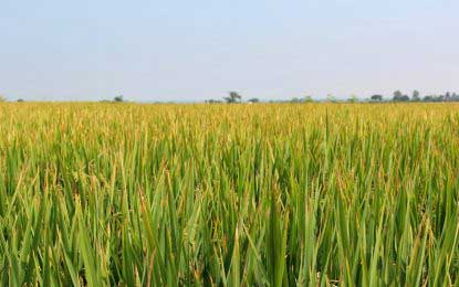 Chinese scientists develop rice that can grow in seawater: could feed 200 mn people
