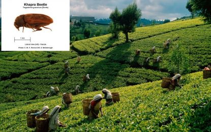 Russia restricts tea supplies from Sri Lanka after finding beetle