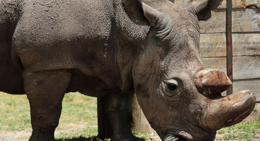 Sudan, the world's last male northern white rhinoceros dies in Kenya
