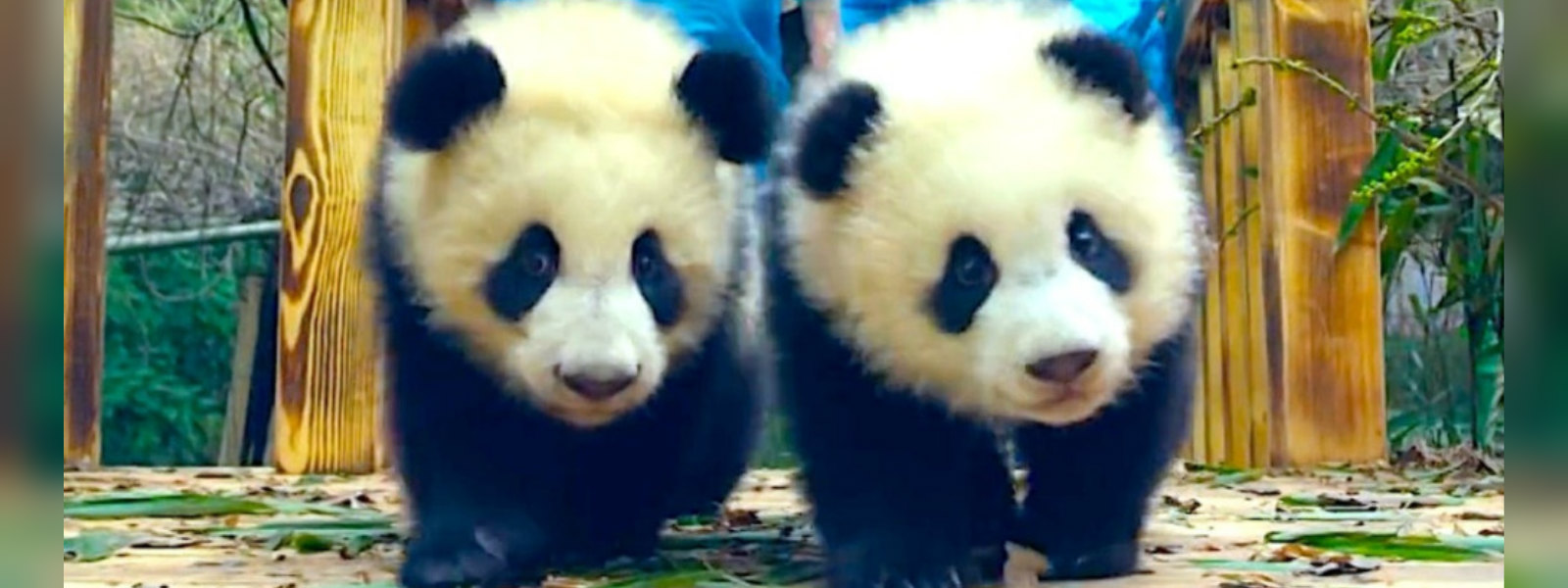 A new record by a pair of Pandas in Mexico