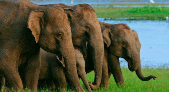 201 wild elephants reported dead in the year 2018 due to human related activities