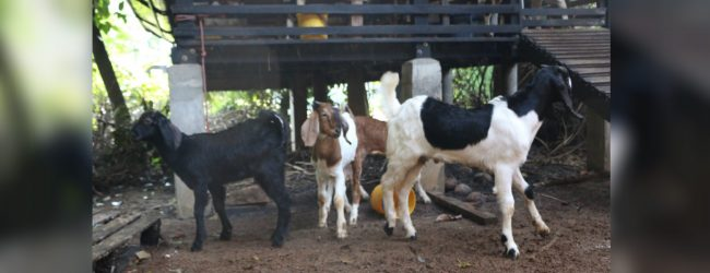 Wrong vaccination kills 100 goats in Gampola farm