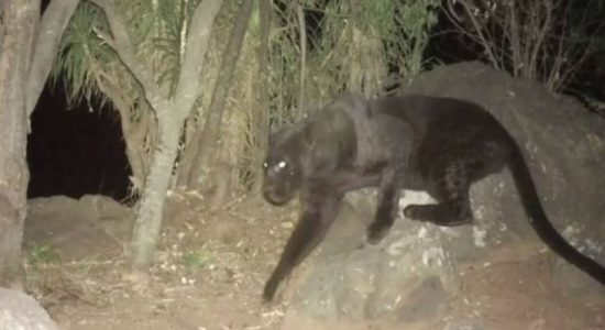 Rare black leopards seen on remote camera footage