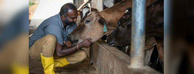 Authorities continue their attempts to import dairy heifers to the country